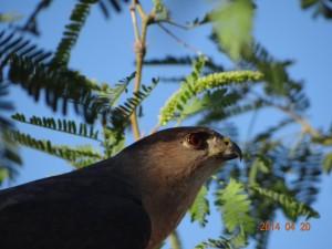 Hawk in my back yard