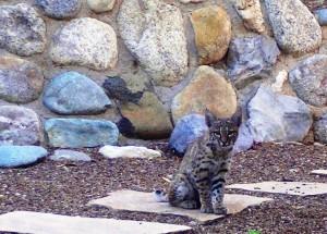 Baby Bobcat, Tucson, AZ