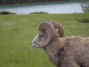 Big Horned Sheep, Banff, British Columbia, Canada