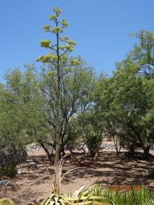 Century Plant Blooming, Tucson, AZ