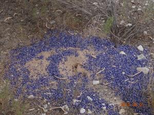 Ants collecting flower peddles Tucson, AZ