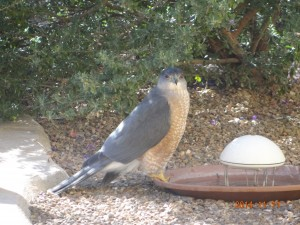 Hawk in back yard