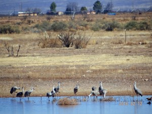 Sandhill Cranes, White Water Draw, Arizona 2