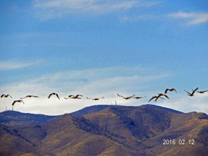 Sandhill Cranes, Whitewater Draw, Arizona