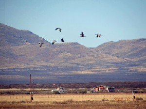 Sandhill Cranes, Whitewater Draw, Arizona 3