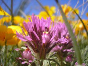 Wildflower Arizona 2011