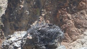 Osprey parent on eggs in Grand Canyon of Yellowstone National Park