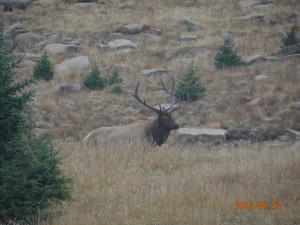 Elk Buck rutting season Rockey Mountain National Park