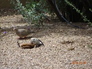 Round tail squirrel gets lunch