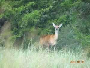 Deer in Central Oklahoma