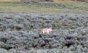 White Alpha Female Wolf Wapiti Pack Yellowstone National Park