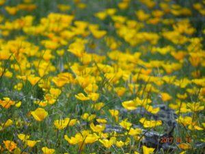 Wildflowers Catalina State Park Arizona 2017